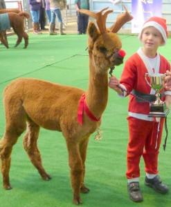 Santa and rudolph alpaca show thirsk
