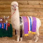 Valley Alpacas The Diplomat